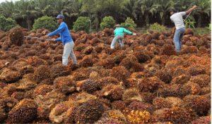 olio di palma come si produce