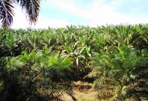 produzione olio di palma in Indonesia