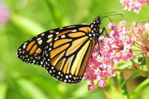 farfalle monarca arancioni e nere