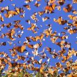 Farfalle monarca: un volo lungo 4.000 km