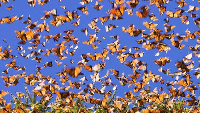 farfalle monarca un volo lungo 4.000 km