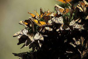 le farfalle monarca volano dal messico agli stati uniti per 4.000 km
