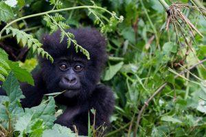 gorilla di montagna in via di estinzione
