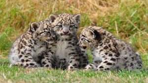 leopardo amur in via di estinzione a causa del cambiamento climatico