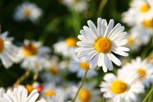 margherite fiori di matrimonio estivi