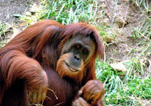 orango di sumatra in via di estinzione