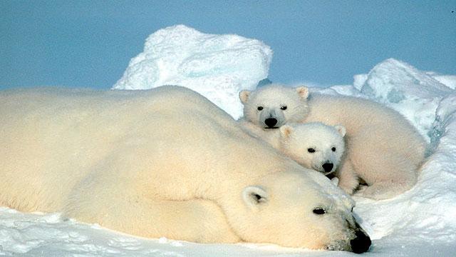 orso polare in via di estinzione a causa del riscaldamento globale