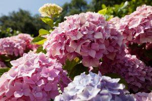 ortensia fiori di matrimonio autunno