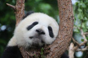 il panda gigante è un animale in via di estinzione a causa della mancanza di cibo