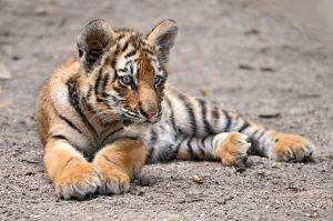 tigre siberiana in via di estinzione