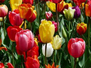tulipano fiori di matrimonio