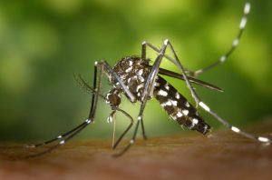 zanzara tigre, 10 rimedi naturali contro le zanzare