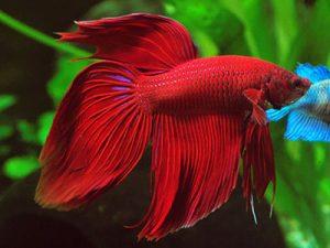betta spleenens pesce combattente