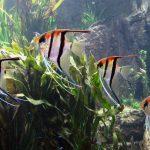 10 pesci facili per l'acquario d'acqua dolce