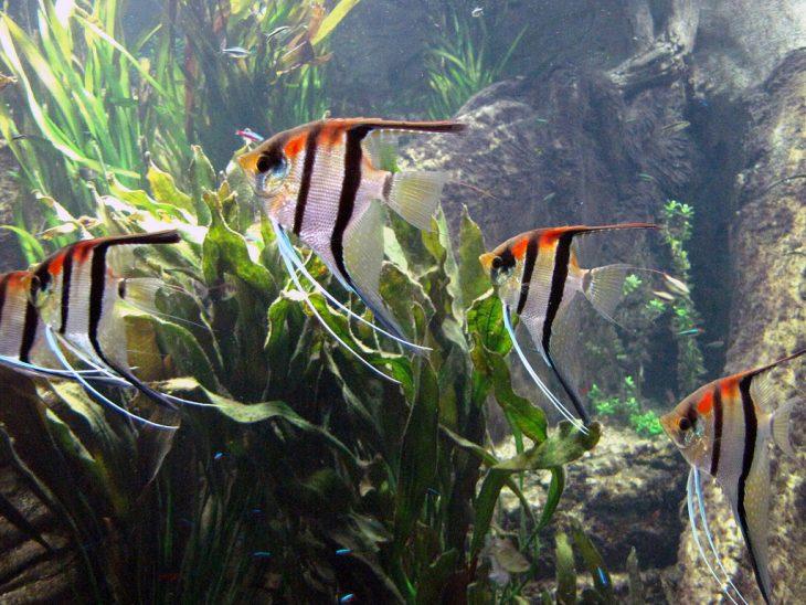 pesci acquario d'acqua dolce