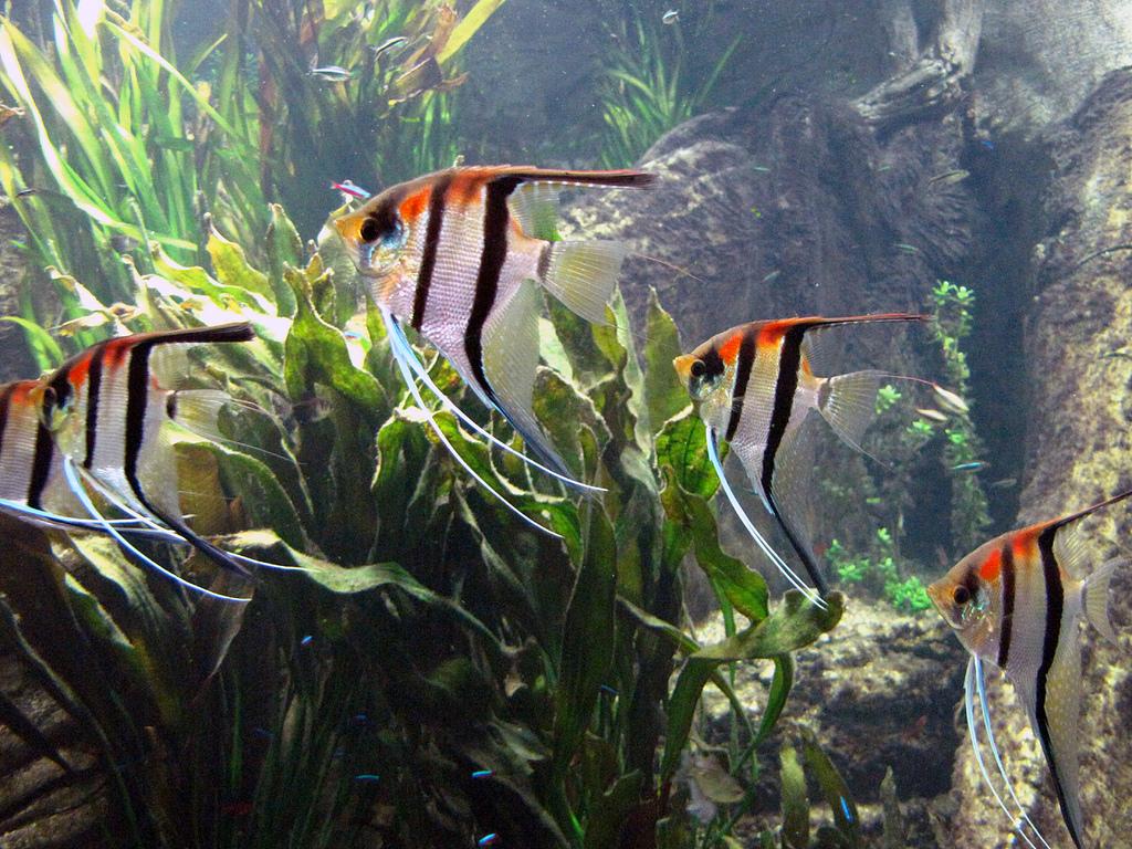 10 pesci facili per l 39 acquario d 39 acqua dolce for Acquario per pesci