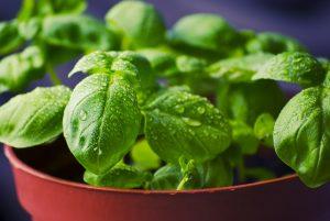 basilico piante aromatiche da balcone