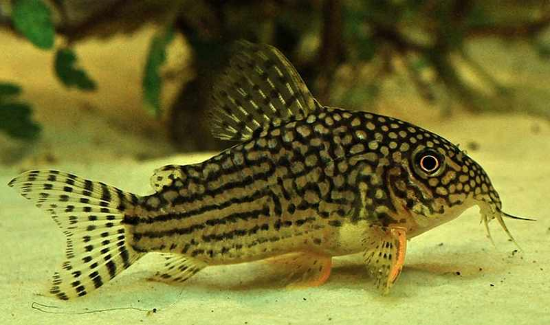 10 pesci facili per l 39 acquario d 39 acqua dolce for Pesce pulitore acqua dolce