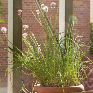 come coltivare l'erba cipollina sul balcone