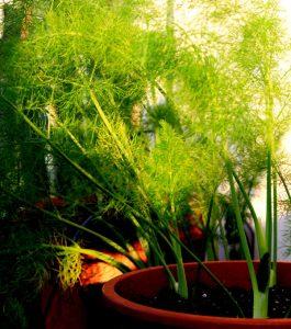 finocchietto pianta aromatica da balcone