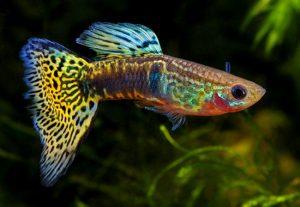 Guppy pesci acqua dolce