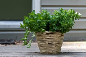 origano pianta aromatica
