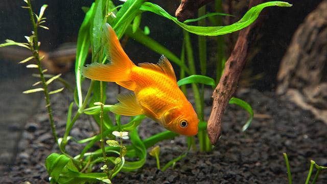 10 pesci facili per l 39 acquario d 39 acqua dolce for Piscina per pesci rossi