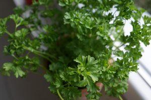 prezzemolo pianta aromatica