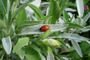 salvia pianta aromatica