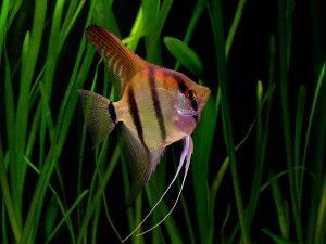 pesce scalare