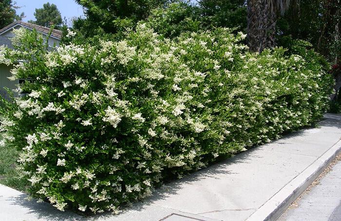 Ligustro piante per siepi da giardino for Piante per siepi sempreverdi