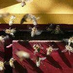 Produrre il miele allevando le api sul balcone di casa
