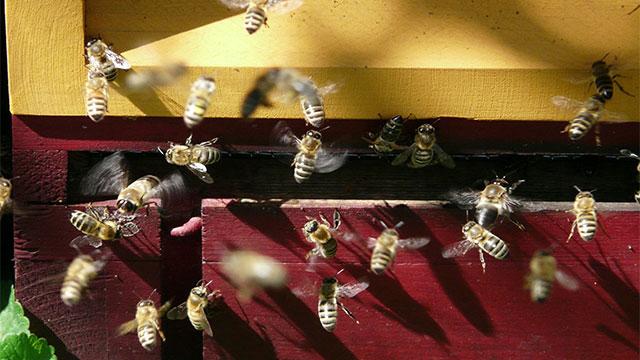 Produrre miele allevando api sul balcone