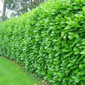 10 piante ideali per siepi da giardino for Pitosforo siepe
