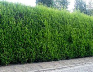 10 piante ideali per siepi da giardino for Alloro siepe