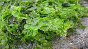fertilizzanti naturali fai da te - alghe