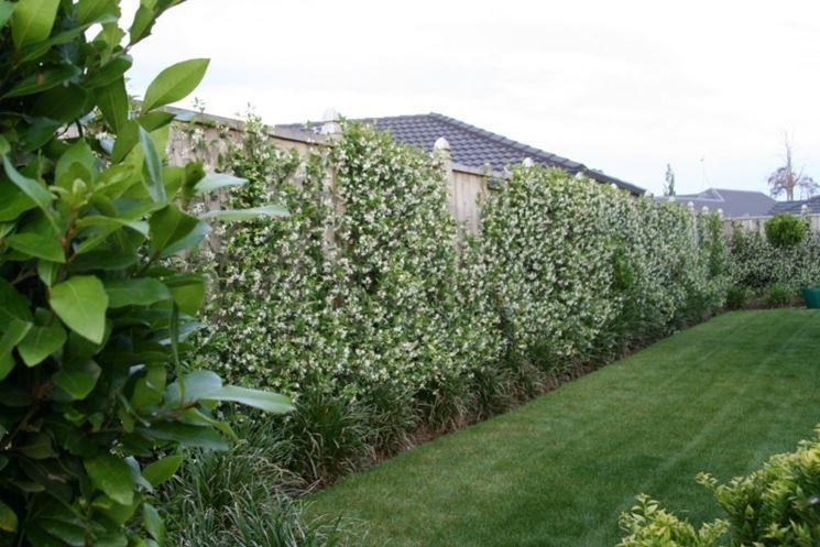 Gelsomino rampicante siepe da giardino for Gelsomino rampicante