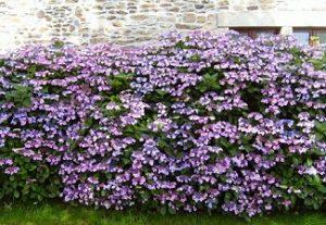 10 piante ideali per siepi da giardino for Fiori per balconi soleggiati