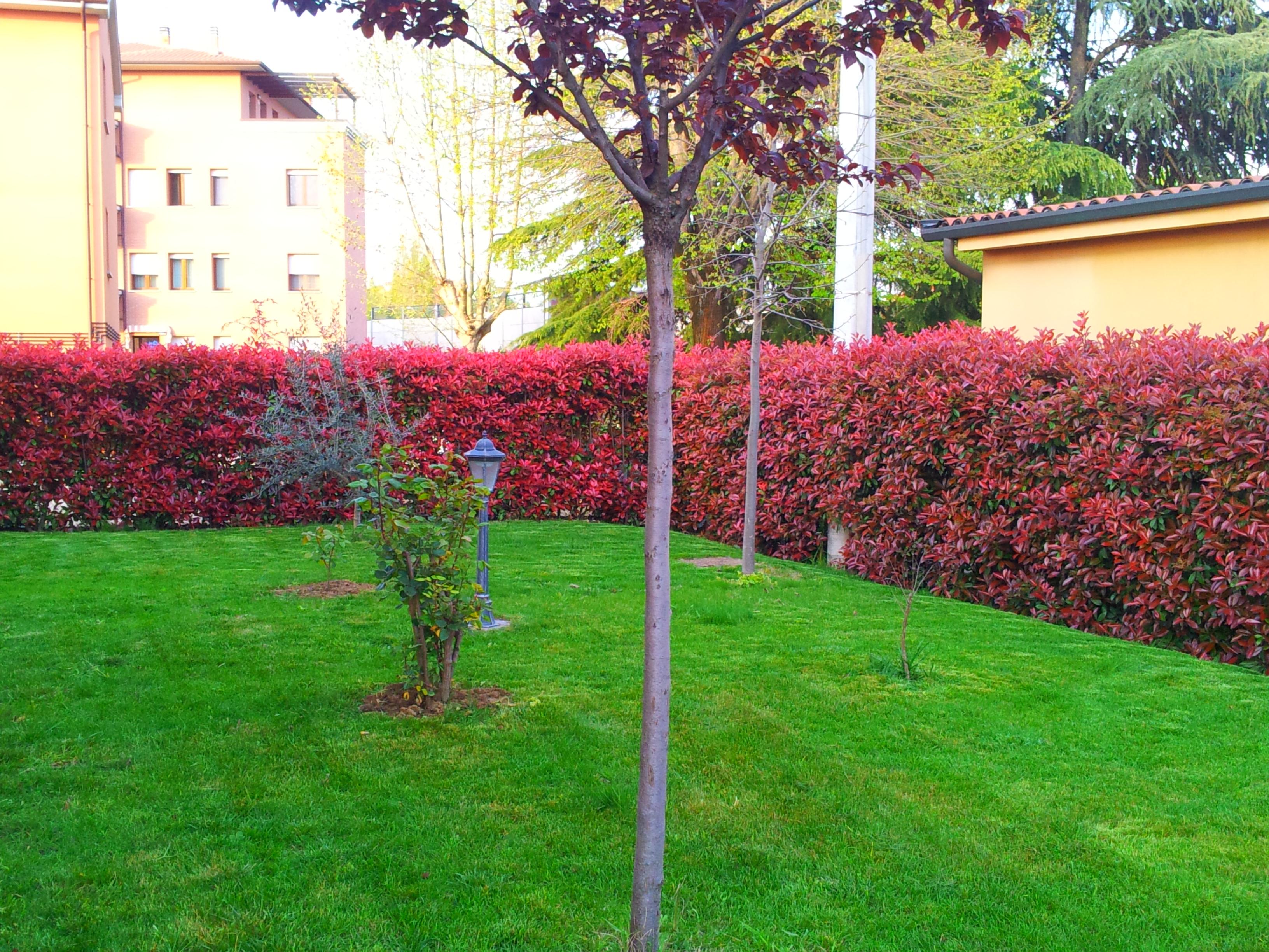 Photinia pianta per siepi da giardino - Siepi ornamentali da giardino ...