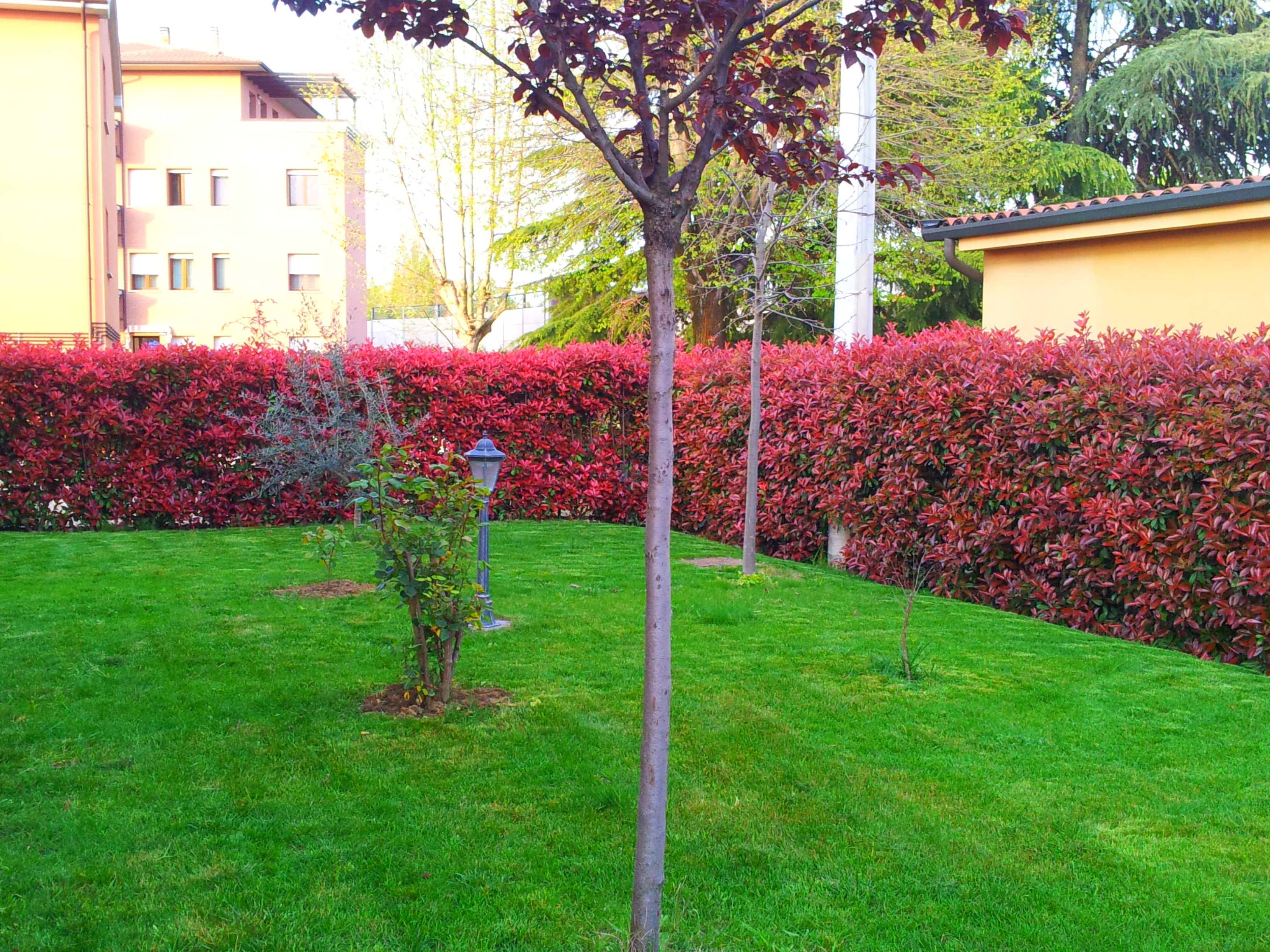 Photinia pianta per siepi da giardino - Alberi frutto giardino ...