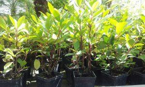 20 piante di lauroceraso per siepi da giardino