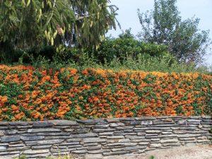 10 piante ideali per siepi da giardino - Sempreverde da giardino ...