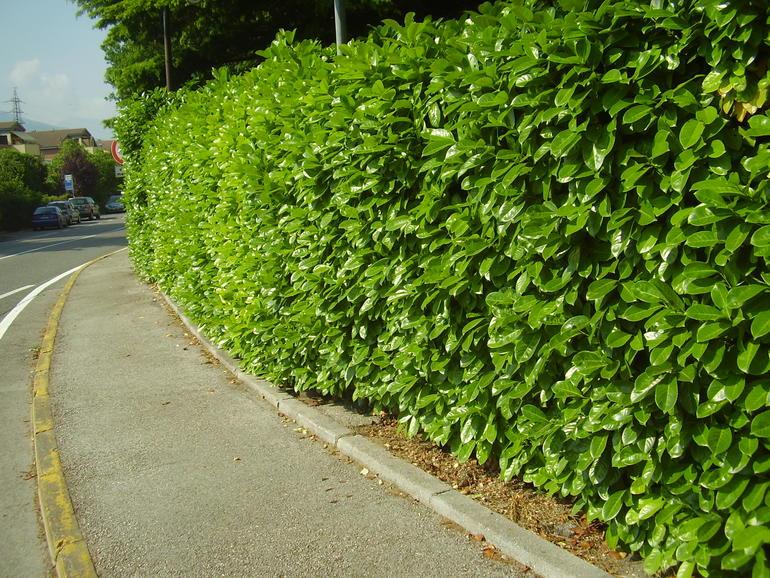 Siepe di lauroceraso - Siepe per giardino ...