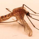 L'uomo creatore di specie, perfino delle zanzare!
