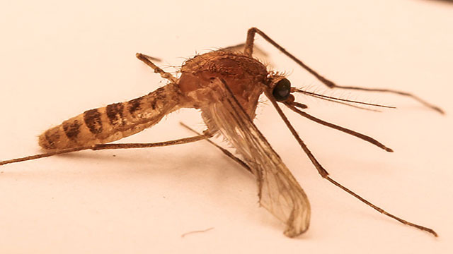 uomo creatore di specie perfino della zanzara