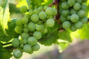 uva frutta di stagione di agosto