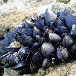 Acidificazione degli oceani: le prime a soffrire sono le cozze