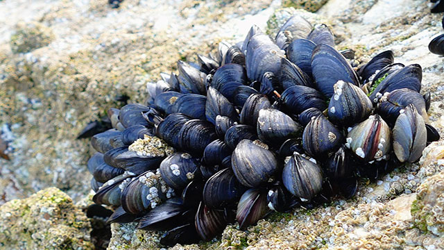 Acidificazione degli oceani, le prime a soffrire sono le cozze