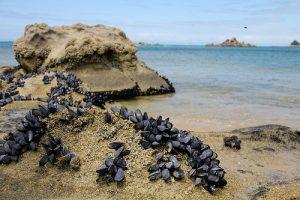 acidificazione degli oceani cozze a rischio sopravvivenza