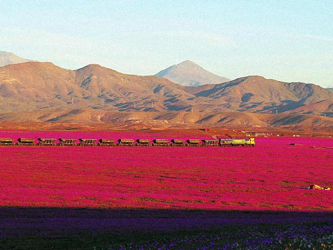 deserto fiorito del cile 10 fenomeni naturali